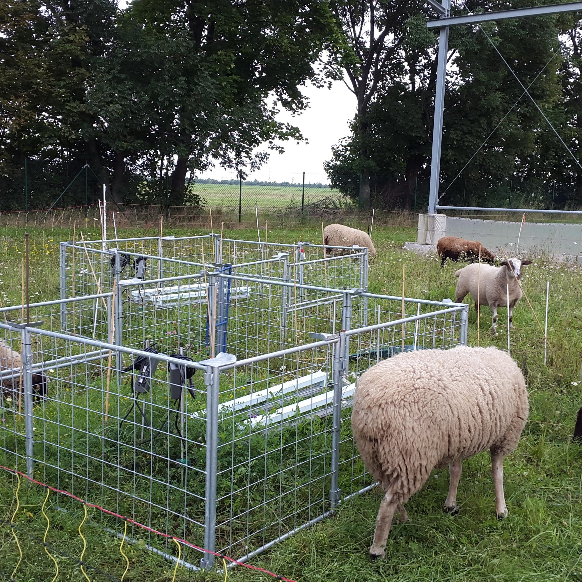 Sheep grazing at eDiValo